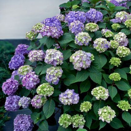 Endless Summer® Bloomstruck® Hydrangea